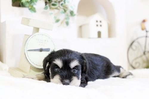 ミニチュアシュナウザーの子犬(ID:1255411613)の4枚目の写真/更新日:2017-04-12