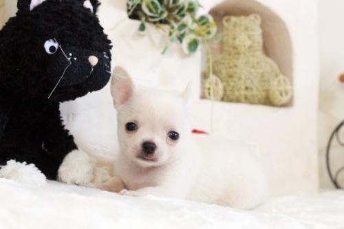 チワワ(スムース)の子犬(ID:1255411615)の1枚目の写真/更新日:2017-04-17