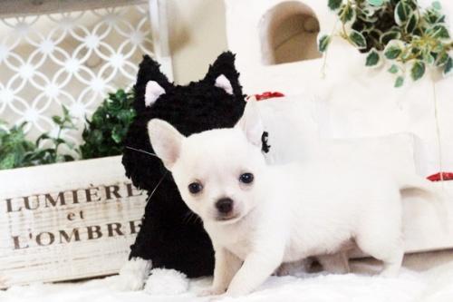 チワワ(スムース)の子犬(ID:1255411615)の2枚目の写真/更新日:2017-04-17