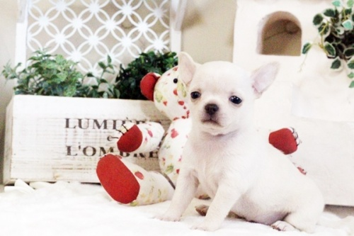 チワワ(スムース)の子犬(ID:1255411616)の1枚目の写真/更新日:2017-04-17