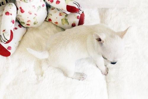 チワワ(スムース)の子犬(ID:1255411616)の3枚目の写真/更新日:2017-04-17