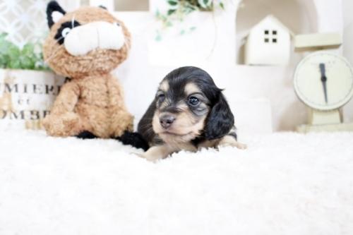 カニンヘンダックスフンド(ロング)の子犬(ID:1255411617)の2枚目の写真/更新日:2017-04-17
