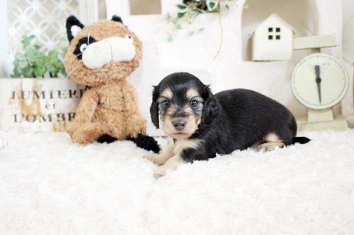 カニンヘンダックスフンド(ロング)の子犬(ID:1255411617)の3枚目の写真/更新日:2017-04-17