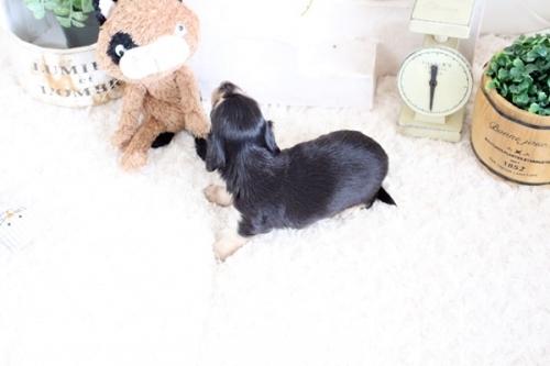 カニンヘンダックスフンド(ロング)の子犬(ID:1255411617)の4枚目の写真/更新日:2017-06-19