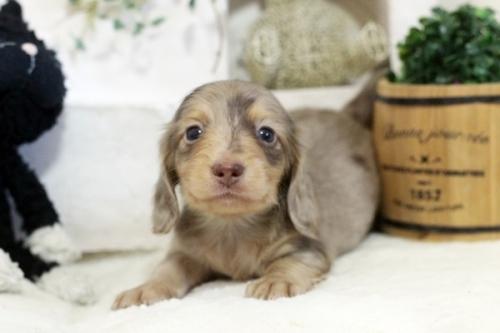 カニンヘンダックスフンド(ロング)の子犬(ID:1255411618)の1枚目の写真/更新日:2020-04-28