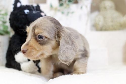 カニンヘンダックスフンド(ロング)の子犬(ID:1255411618)の2枚目の写真/更新日:2020-04-28