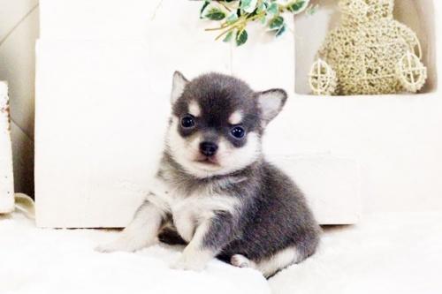 チワワ(ロング)の子犬(ID:1255411619)の1枚目の写真/更新日:2017-04-17