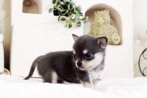 チワワ(ロング)の子犬(ID:1255411619)の2枚目の写真/更新日:2017-04-17