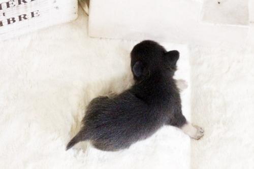 チワワ(ロング)の子犬(ID:1255411619)の3枚目の写真/更新日:2017-04-17