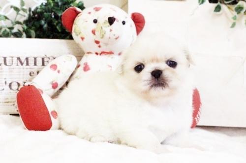 ペキニーズの子犬(ID:1255411621)の1枚目の写真/更新日:2017-04-17