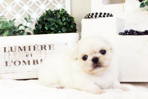 ペキニーズの子犬(ID:1255411622)の1枚目の写真/更新日:2017-04-17