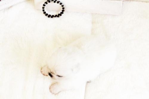 ペキニーズの子犬(ID:1255411622)の2枚目の写真/更新日:2017-04-17