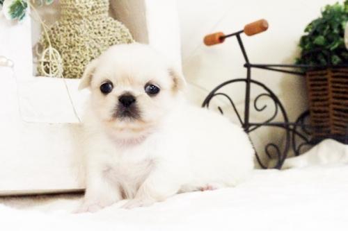 ペキニーズの子犬(ID:1255411623)の1枚目の写真/更新日:2017-04-26