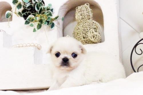 ペキニーズの子犬(ID:1255411623)の2枚目の写真/更新日:2017-04-26