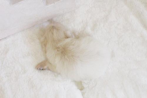 ペキニーズの子犬(ID:1255411623)の3枚目の写真/更新日:2017-04-17