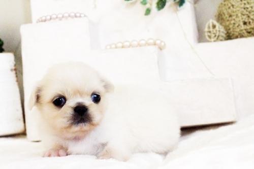 ペキニーズの子犬(ID:1255411623)の4枚目の写真/更新日:2017-04-26