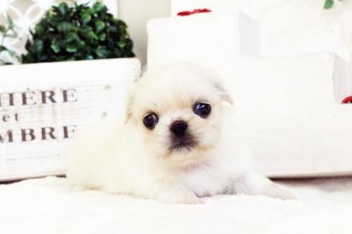 ペキニーズの子犬(ID:1255411624)の1枚目の写真/更新日:2017-04-17