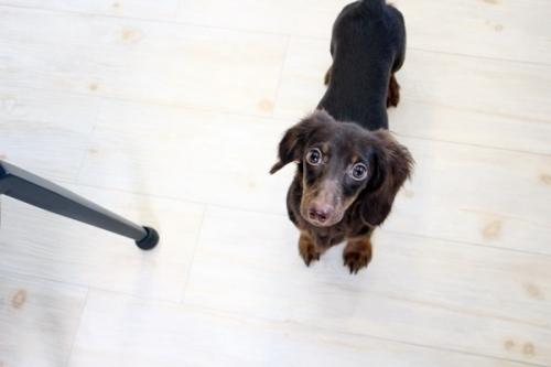 カニンヘンダックスフンド(ロング)の子犬(ID:1255411625)の2枚目の写真/更新日:2017-04-17