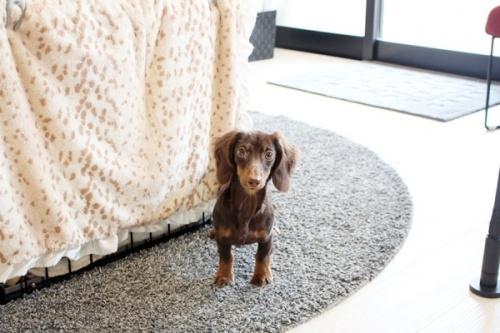 カニンヘンダックスフンド(ロング)の子犬(ID:1255411625)の3枚目の写真/更新日:2017-04-17