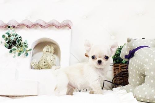チワワ(ロング)の子犬(ID:1255411626)の1枚目の写真/更新日:2017-04-20