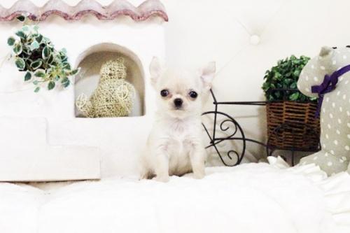 チワワ(ロング)の子犬(ID:1255411626)の2枚目の写真/更新日:2017-04-20