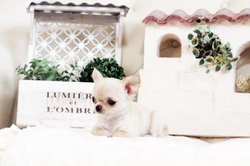 チワワ(ロング)の子犬(ID:1255411626)の5枚目の写真/更新日:2017-04-20