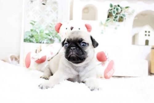パグの子犬(ID:1255411627)の2枚目の写真/更新日:2017-04-26