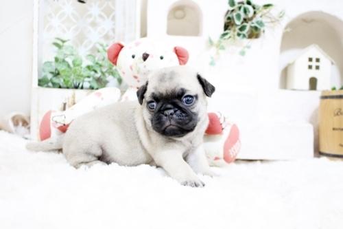 パグの子犬(ID:1255411627)の3枚目の写真/更新日:2021-06-14