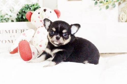 チワワ(ロング)の子犬(ID:1255411628)の1枚目の写真/更新日:2017-04-26