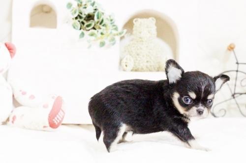 チワワ(ロング)の子犬(ID:1255411628)の3枚目の写真/更新日:2017-04-26