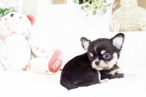 チワワ(ロング)の子犬(ID:1255411628)の4枚目の写真/更新日:2017-04-26