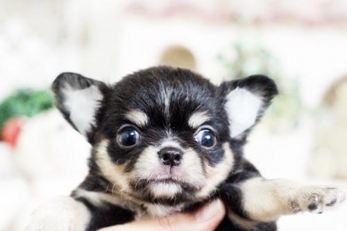 チワワ(ロング)の子犬(ID:1255411628)の5枚目の写真/更新日:2017-04-26