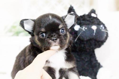 チワワ(ロング)の子犬(ID:1255411629)の1枚目の写真/更新日:2017-04-26