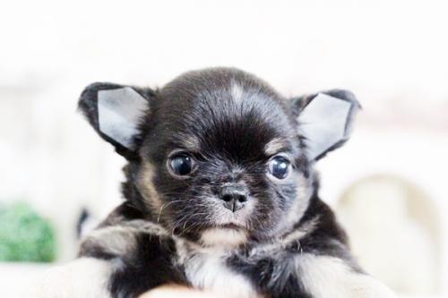 チワワ(ロング)の子犬(ID:1255411629)の3枚目の写真/更新日:2017-04-26
