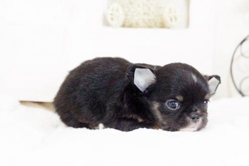 チワワ(ロング)の子犬(ID:1255411629)の4枚目の写真/更新日:2017-04-26