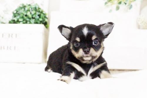 チワワ(ロング)の子犬(ID:1255411630)の1枚目の写真/更新日:2017-04-26
