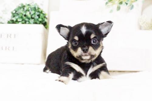 チワワ(ロング)の子犬(ID:1255411630)の2枚目の写真/更新日:2017-04-26