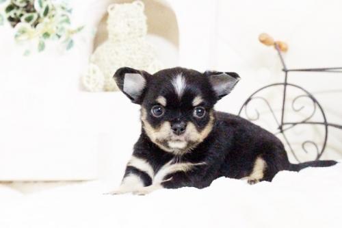 チワワ(ロング)の子犬(ID:1255411630)の4枚目の写真/更新日:2017-04-26