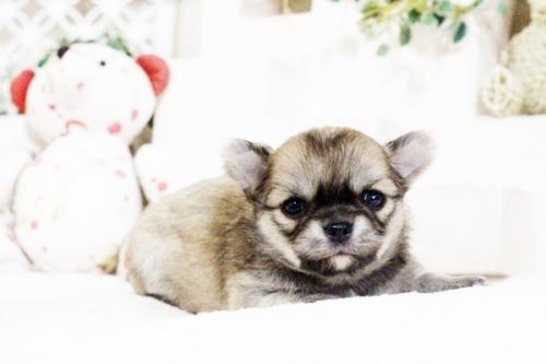 チワワ(ロング)の子犬(ID:1255411631)の1枚目の写真/更新日:2017-04-26