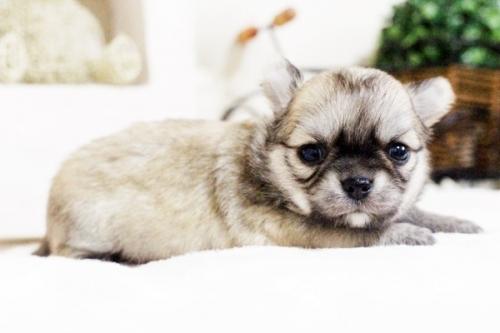 チワワ(ロング)の子犬(ID:1255411631)の2枚目の写真/更新日:2017-04-26