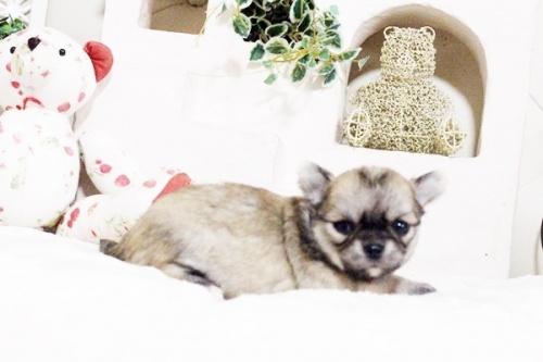 チワワ(ロング)の子犬(ID:1255411631)の4枚目の写真/更新日:2017-04-26