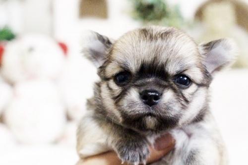 チワワ(ロング)の子犬(ID:1255411631)の5枚目の写真/更新日:2017-04-26