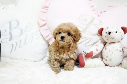 トイプードルの子犬(ID:1255411632)の1枚目の写真/更新日:2017-05-02