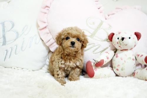 トイプードルの子犬(ID:1255411632)の2枚目の写真/更新日:2017-05-02