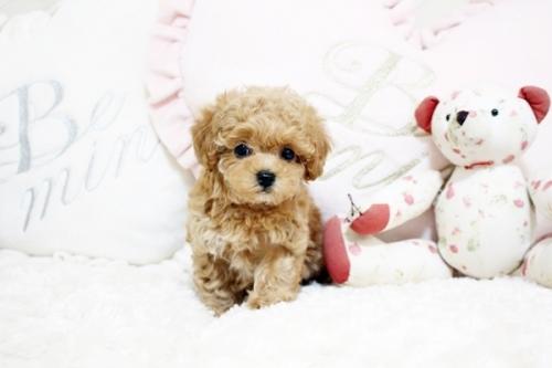 トイプードルの子犬(ID:1255411632)の3枚目の写真/更新日:2017-05-02