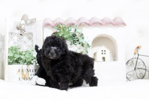 トイプードルの子犬(ID:1255411633)の1枚目の写真/更新日:2017-05-02