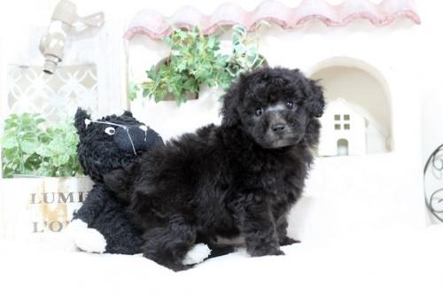 トイプードルの子犬(ID:1255411633)の2枚目の写真/更新日:2017-05-02