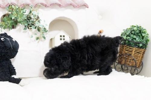 トイプードルの子犬(ID:1255411633)の3枚目の写真/更新日:2017-05-02