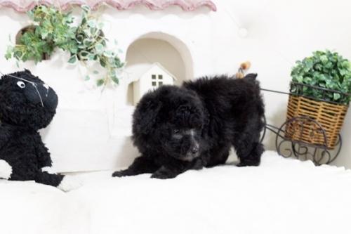 トイプードルの子犬(ID:1255411633)の4枚目の写真/更新日:2017-05-02