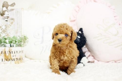 トイプードルの子犬(ID:1255411634)の1枚目の写真/更新日:2017-05-02